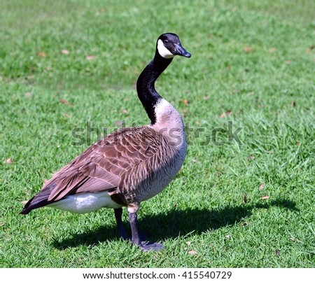 A close up image of a Canadian Goose (Branta canadensis), with crooked neck, standing in green grass. - stock photo