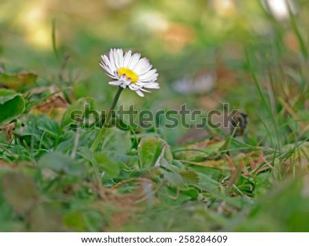 A close-up image of a daisy.  - stock photo