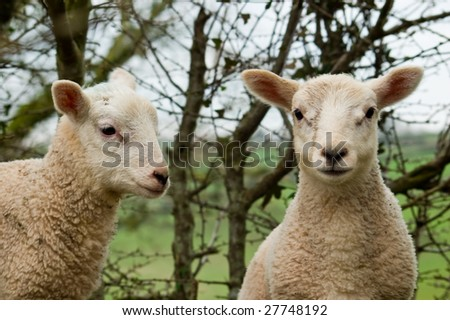 A close up image of two young spring twin lambs one looking ahead and the other to the side. - stock photo