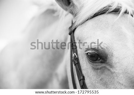 A close up landscape black and white image of the eye, head, and shoulders of a palomino horse - stock photo