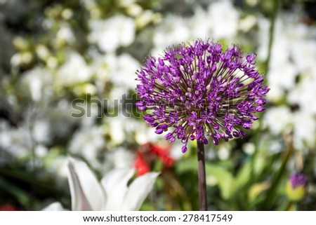 A close-up look at the Spring flower, a purple Allium which is a member of the onion family. - stock photo