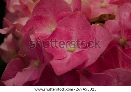 A close up nature photograph of a cluster of pink Hydrangea blooms. - stock photo