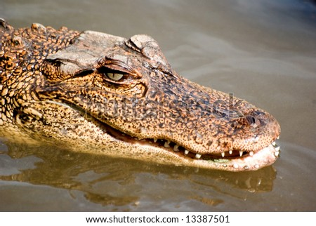 A close up of a alligator in the water