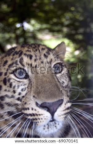 A close up of a astonished leopard in Kenya - Africa - stock photo
