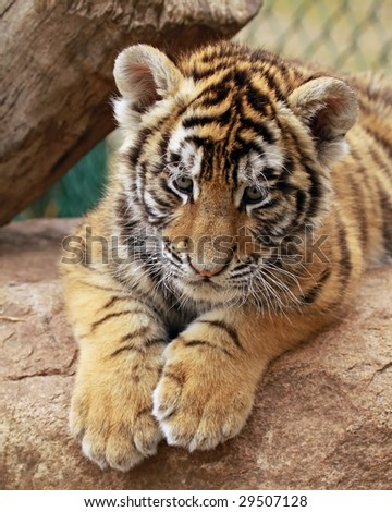 A close-up of a baby female tiger (Panthera tigris altaica)