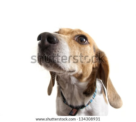 a close up of a beagle face - stock photo
