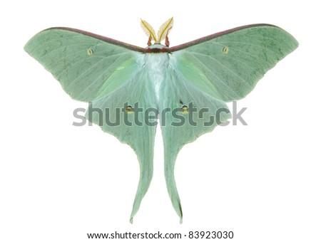 A close up of a big and very beautiful night butterfly (Actias artemis). Isolated on white. - stock photo