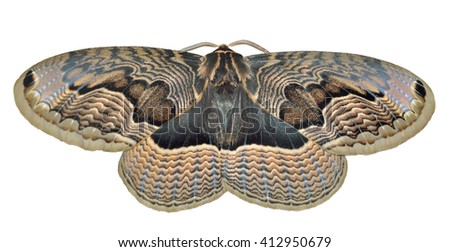A close up of a big and very beautiful night butterfly (Brahmaea tancrei). Isolated on white.