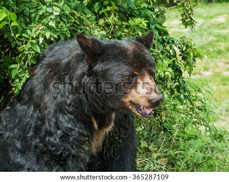 A close-up of a black bear taken in a Safari Park in New Jersey. - stock photo