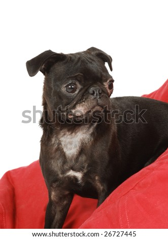 A close up of a black Pug dog with a ringworm infection on its face and chest. - stock photo