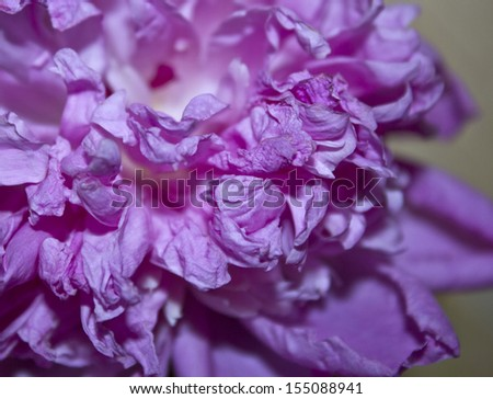 A close up of a blossom peony petals.  - stock photo
