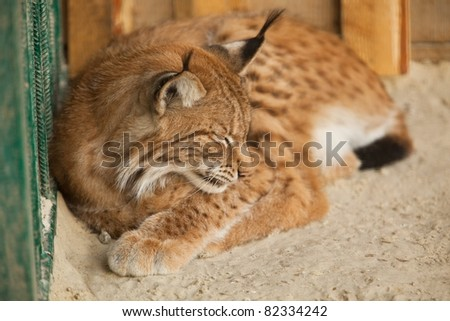 A close-up of a bobcat sleeping - stock photo