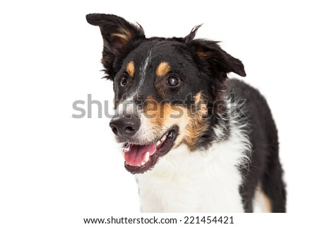 A close up of a border collie looking off to the side.  The mouth is open and dog is alert. - stock photo
