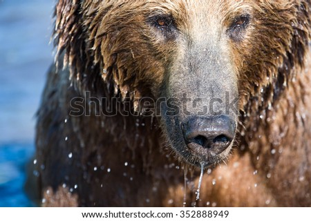 A close up of a brown bear who is looking intently for salmon - stock photo