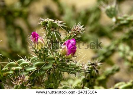 a close up of a budding Tree Cactus - stock photo