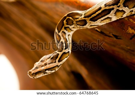 A close-up of a Burmese python slithering on a tree. - stock photo