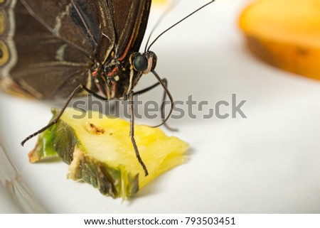 A close up of a butterfly taken with a macro lens, while eating some fruit