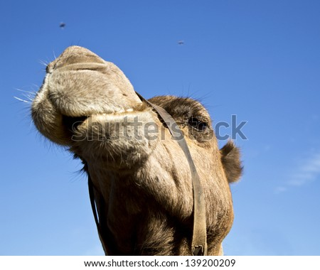 A close up of a camel chewing