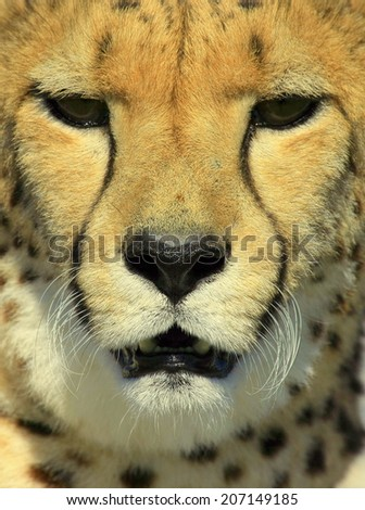 A close up of a cheetah's face. South Africa - stock photo