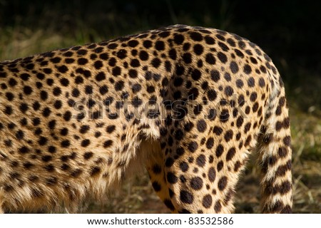 A close up of a cheetah's spots showing only the back half of its body