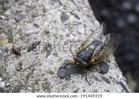 A close up of a cicada on a curb; photo taken during the summer, 2013 cicada season in New Jersey; shallow depth of field