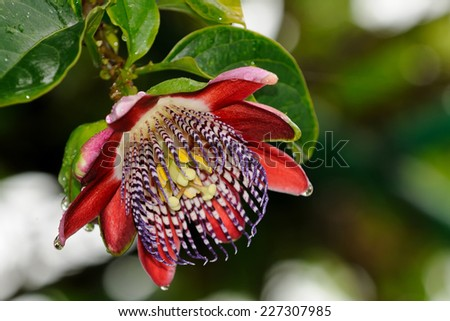 A close up of a colorful passion flower - stock photo