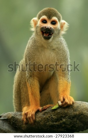 A close-up of a common squirrel monkey (saimiri sciureus) eating and smiling - stock photo