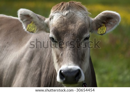 A close up of a cow
