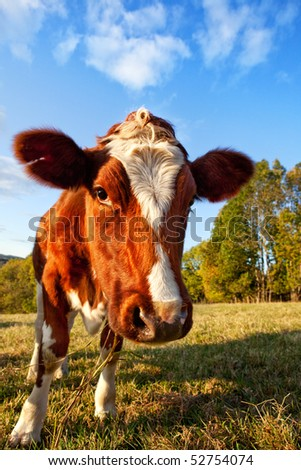 A close-up of a cow looking at the camera - stock photo