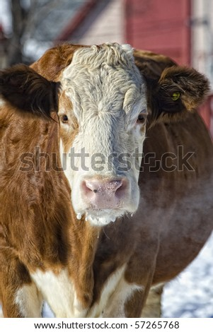 A close up of a cow on a farm breathing in very cold winter weather.