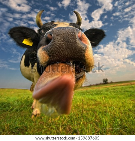 A close up of a cow's head. The cow is sticking out its tongue.  - stock photo