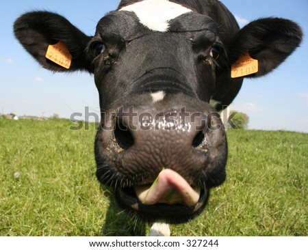 A close up of a cow's head. The cow is sticking out its tongue. Shallow DOF with focus on the eyes.