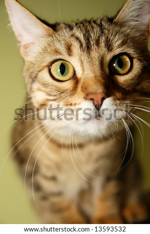 A close-up of a curious Bengali kitten. - stock photo
