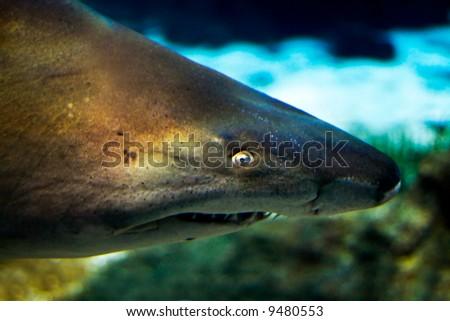 a close up of a curious shark - stock photo