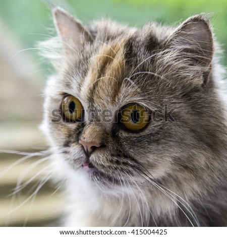 A close-up of a doll-faced Persian Chinchilla Cat. - stock photo