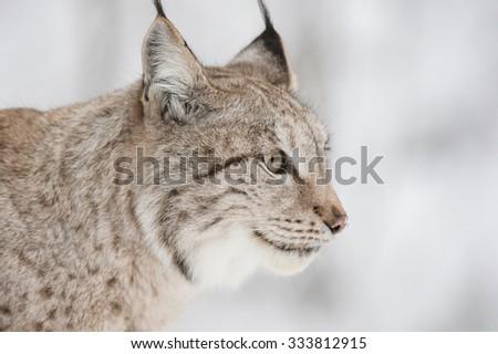 A close up of a Eurasian Lynx. - stock photo