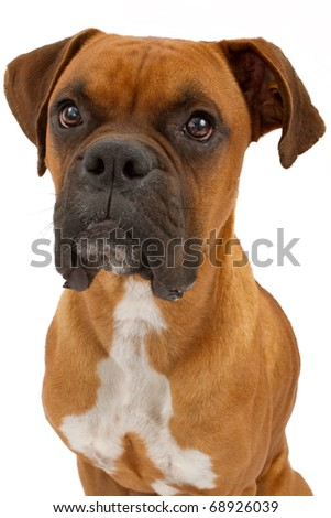 A close-up of a fawn beautiful Boxer dog. Isolated on white - stock photo