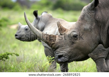 A close up of a female rhino / rhonoceros and her calf. Showing off her beautiful horn. Protecting her calf. South Africa - stock photo