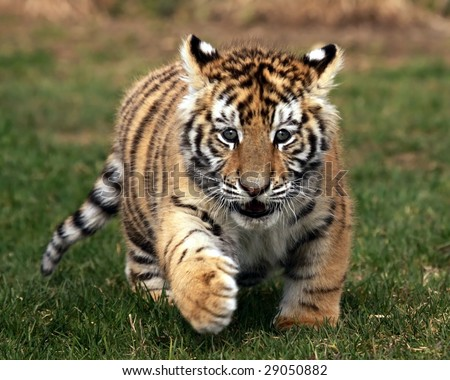 A close-up of a female tiger cub (Panthera tigris altaica) running in the grass - stock photo