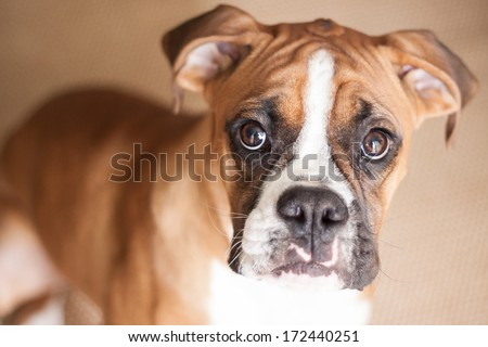 A close-up of a flashy fawn Boxer puppy looking right at you. - stock photo
