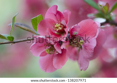 A close-up of a flowering Quince bush (Cydonia oblonga) in full bloom.