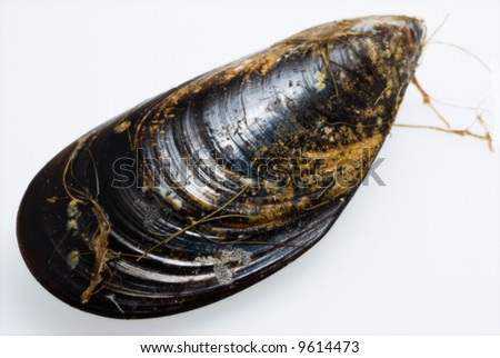 A close up of a fresh raw mussel on white background with faint shadow (progressive DOF)
