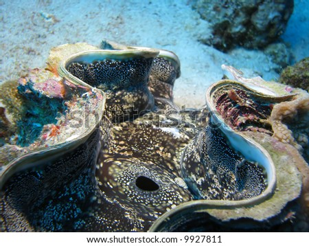 A close up of a giant clam - stock photo