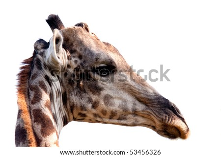 A close up of a giraffe's head whilst it twists its neck to look to the right.  Isolated on white.  The photo was taken near the Moremi Game Reserve in the Okavango Delta in Botswana. - stock photo