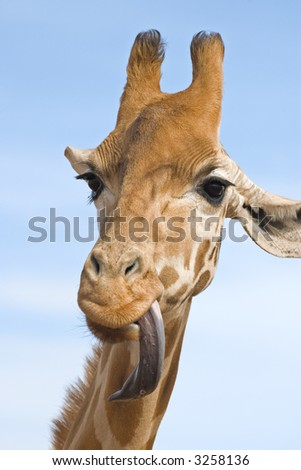a close up of a giraffe with its long tongue out looking stupid - stock photo