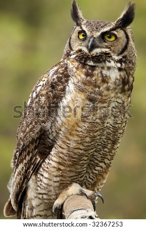 A close-up of a Great Horned Owl (Bubo virginianus) looking up - stock photo