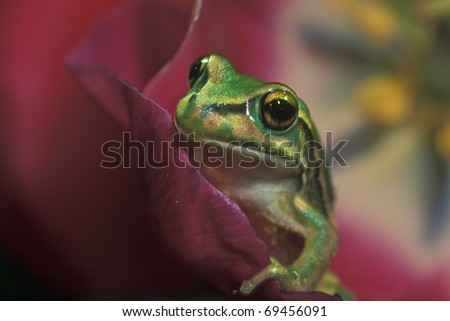 A close up of a green frog sitting on a flower petal looking at the camera. - stock photo