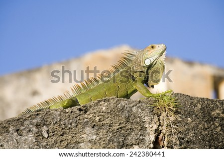 A close up of a green Iguana or Iguanidae photographed in Puerto Rico. - stock photo