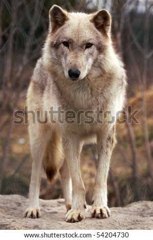 A close-up of a grey wolf (canis lupus). - stock photo