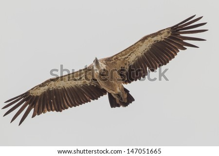 a close up of a griffon vulture,vale gier - stock photo